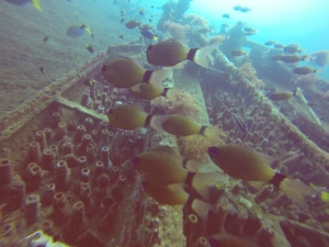 A school of cardinal fish on a small wreck